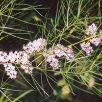 Asparagus Racemosus Root