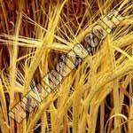 Barley Suppliers