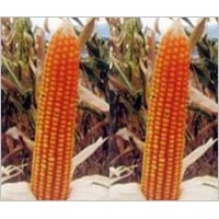 Hybrid Maize Seeds (Krishnagold)