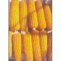 Hybrid Maize Seedsc (Surya)