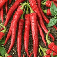 Long Red Cayenne Pepper Seeds