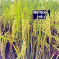 Paddy Seeds (Annapurna)