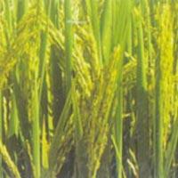 Paddy Seeds (Parvati)
