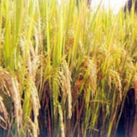 Paddy Seeds (Shubhangi)