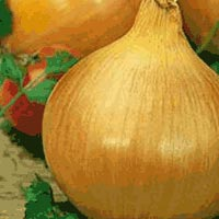 Texas (Early) Grano 502 PRR Onion Seeds