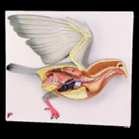 Bird Dissection - Pigeon (PZ-13)