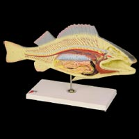 Fish  Dissection (Carp PZ-15)