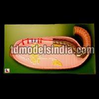 Earthworm Dissection (Pheretima Posthuma PZ-27)