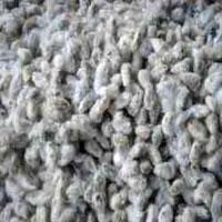 Cotton Seeds Gujarat
