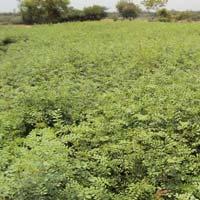 Indigofera Tinctoria Dry Leaves