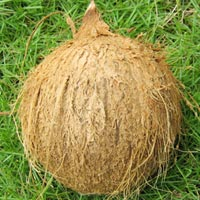 Coconut (SII 01)