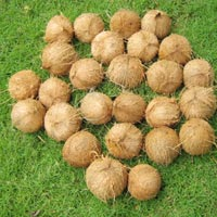 Coconut (SII 04)