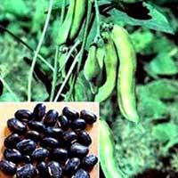 Konch Seeds