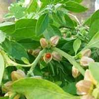 Organic Ashwagandha Leaves (Organic Withania Somnifera Leaves)