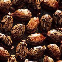 Castor Seeds (Ricinus Communis)