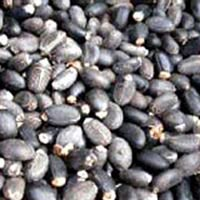 Jatropha Seeds (Jatropha Curcas)