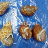 Frozen Babylonia Spirata Crustaceans