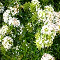 White Ixora Plants