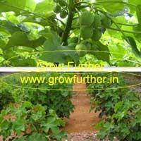Jatropha Plant