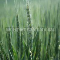 Hard Winter Wheat Seeds