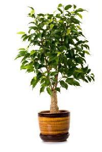 Ficus Plants