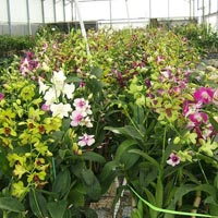 Orchid Plant 01