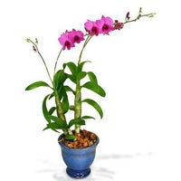 Orchid Plant 02