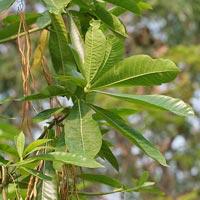 Alstonia Plant