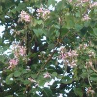 Bauhinia Variegata Plant