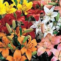 Fresh Asiatic Lily Flowers