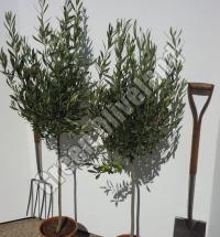 Koroneiki Olive Tree Suppliers