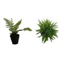 High Value Ornamental Plant