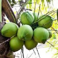 Green Tender Coconut