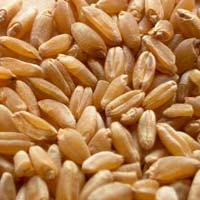 Organic Durum Wheat