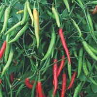 Chilli Seeds (JWALA - 333)