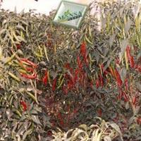 Chilli Seeds (Jwala - 333) 01