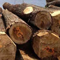 Poplar Wood Logs