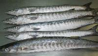 Frozen Barracuda Fishes