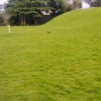 Natural Grass for Golf Ground