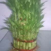 Lucky Bamboos Plants
