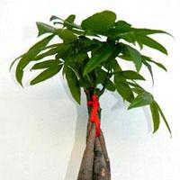 Vastu Plants