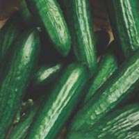 Mamta Hybrid Cucumber Seeds