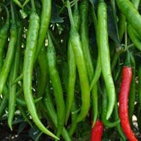 Nirmala Hybrid Chilli Seeds