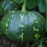 Raveena Pumpkin