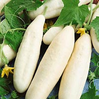 White Wonder Hybrid Cucumber Seeds