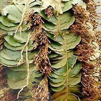 Tendu Leaf