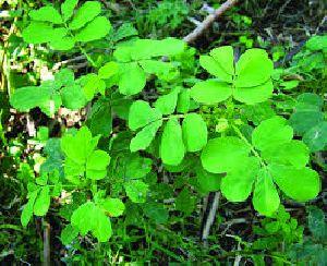 Fresh Cassia Tora Leaves