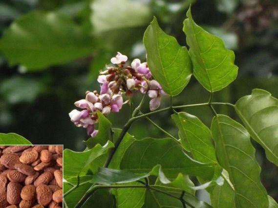 Seed Ball Species Manufacturer Supplier In Chikkaballapur