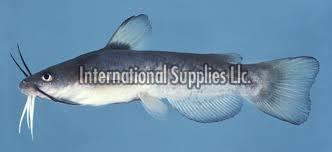 Ictalurids Fish