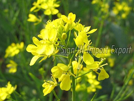 Fresh Yellow Mustard Leaves